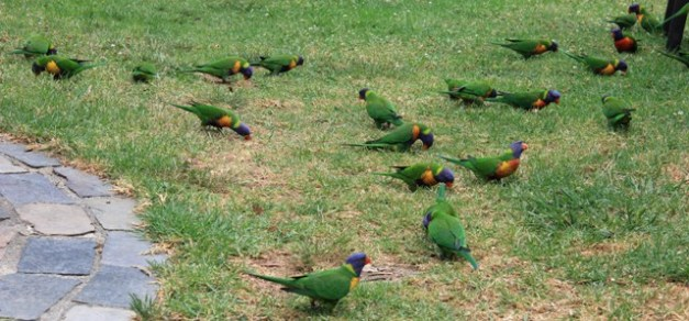 Grazing Lorikeets.