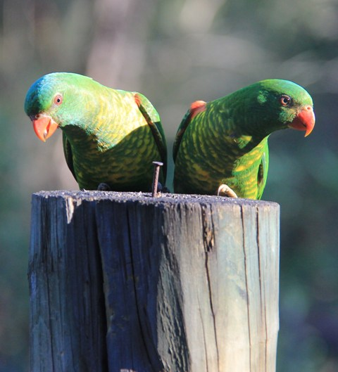 Scaly Breated Lorikeets.